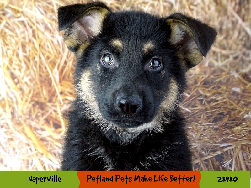 German Shepherd Dog-Male-Black / Tan-2919192-Petland Aurora