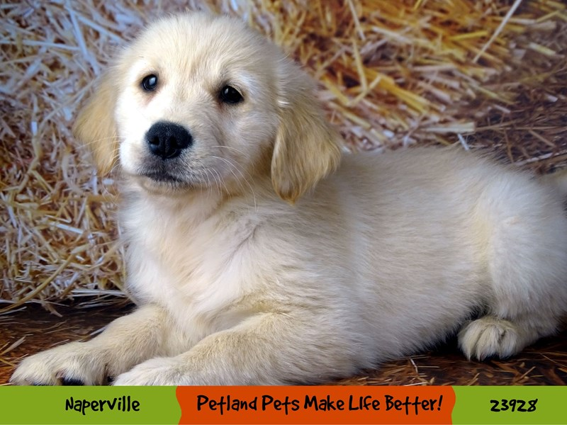 Golden Retriever-Female-Golden-2918970-Petland Naperville