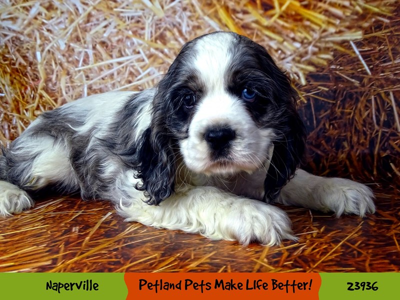 Cocker Spaniel-Female-Blue / White-2919041-Petland Aurora