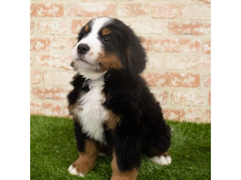 Bernese Mountain Dog-Male-Black White / Tan-2921335-Petland Aurora