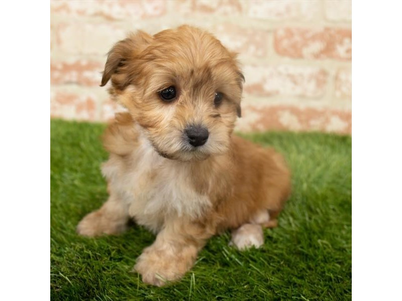 Morkie-Female-Golden-2921336-Petland Aurora