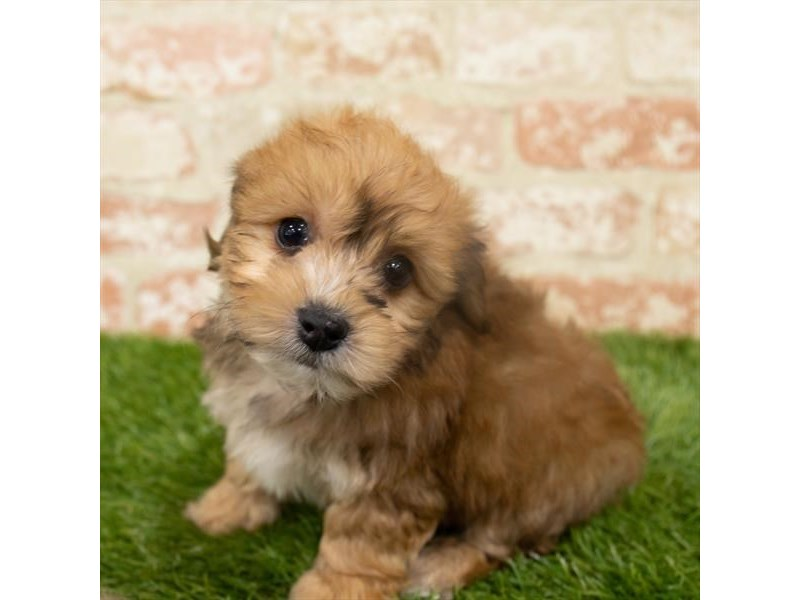 Morkie-Male-Golden-2921338-Petland Aurora