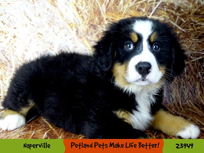 Bernese Mountain Dog-Female-Black Rust / White-2927029-Petland Aurora