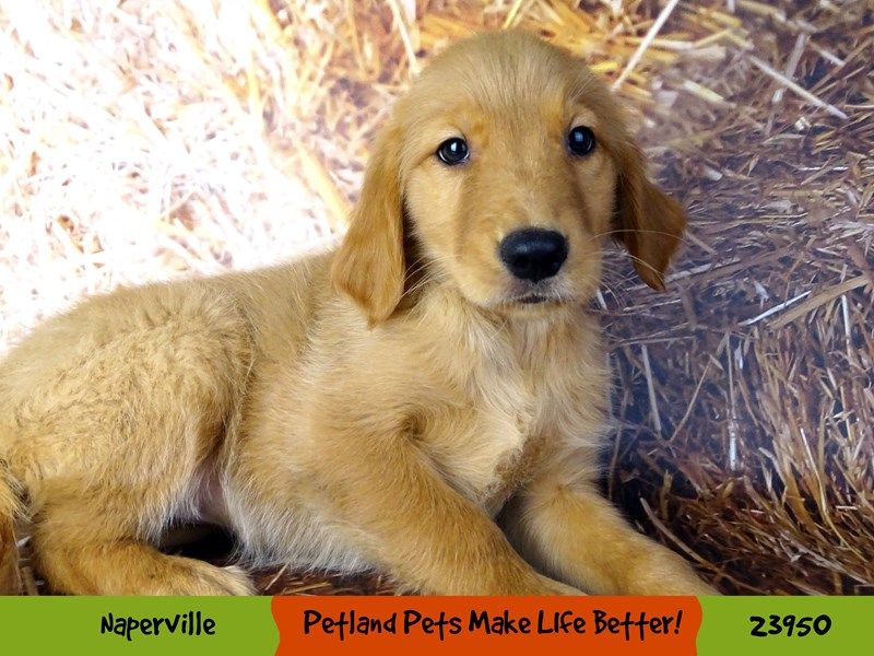 Golden Retriever-Female-Golden-2927070-Petland Aurora