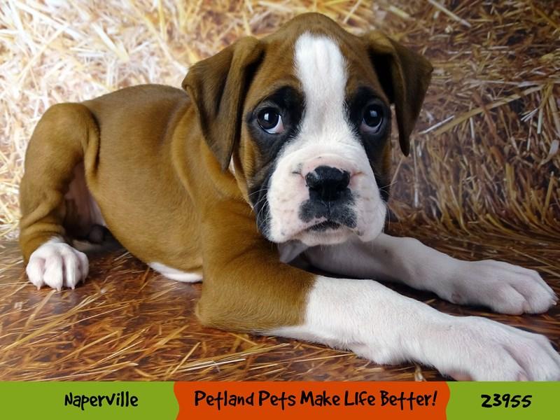 Boxer-Female-Fawn / White-2927025-Petland Aurora