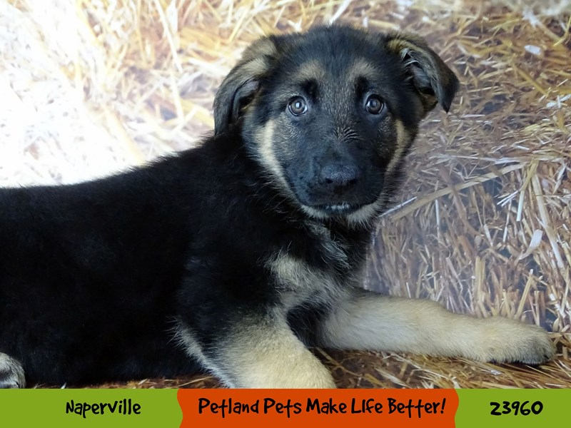 German Shepherd Dog-Female-Black / Tan-2927023-Petland Aurora