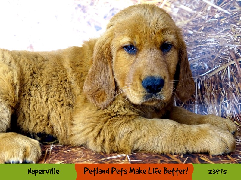 Golden Retriever-Female-Golden-2934408-Petland Aurora