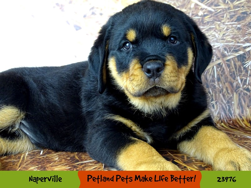 Rottweiler-Male-Black / Tan-2934394-Petland Aurora