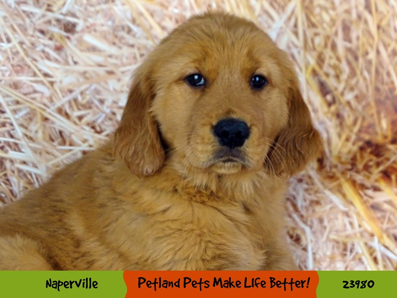 Golden Retriever-Male-Golden-2934409-Petland Aurora