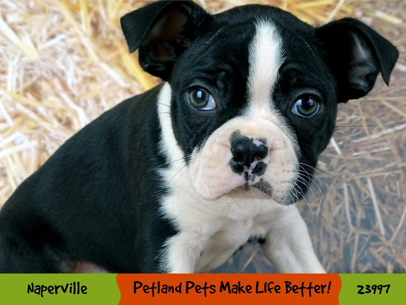 Boston Terrier-Male-Black / White-2943203-Petland Aurora