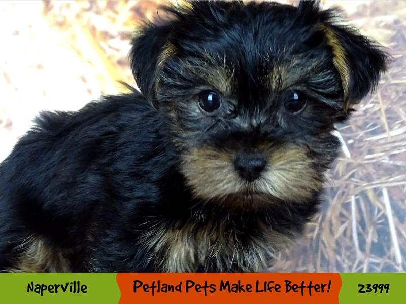 Yorkshire Terrier-Female-Black and Tan-2943296-Petland Aurora