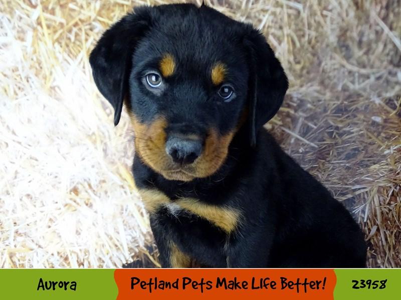 Rottweiler-Male-Black / Rust-2927018-Petland Aurora
