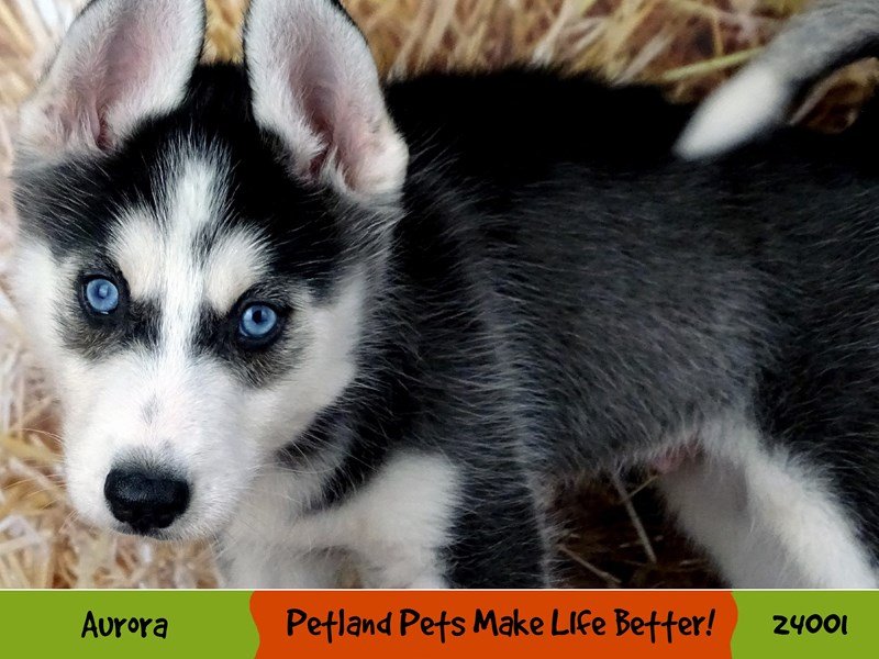 Siberian Husky-Male-Black and White-2943358-Petland Aurora