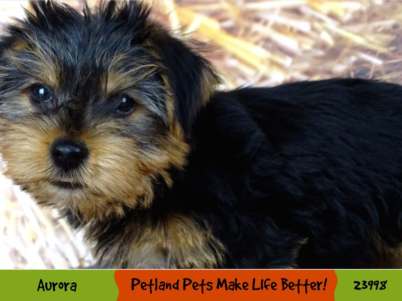 Yorkshire Terrier-Male-Black and Tan-2943258-Petland Aurora