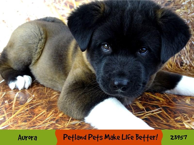 Akita-Male-Black / White-2927020-Petland Aurora