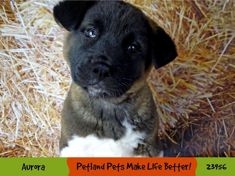 Akita-Female-Black / White-2927019-Petland Aurora