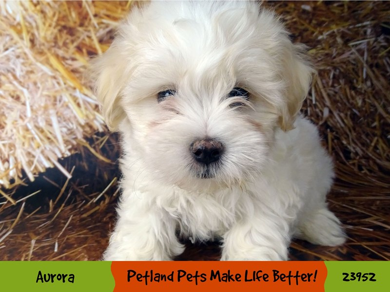 Maltese-Male-White-2927022-Petland Aurora