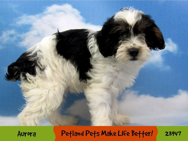 Yorkiepoo-Male-Black / White-2877515-Petland Aurora