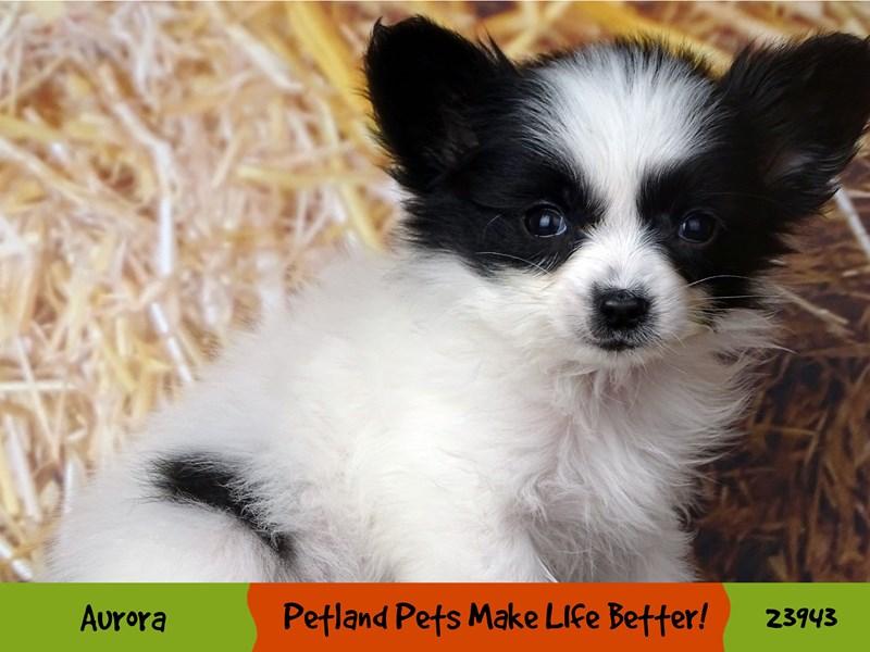 Papillon-Male-Black / White-2921340-Petland Aurora