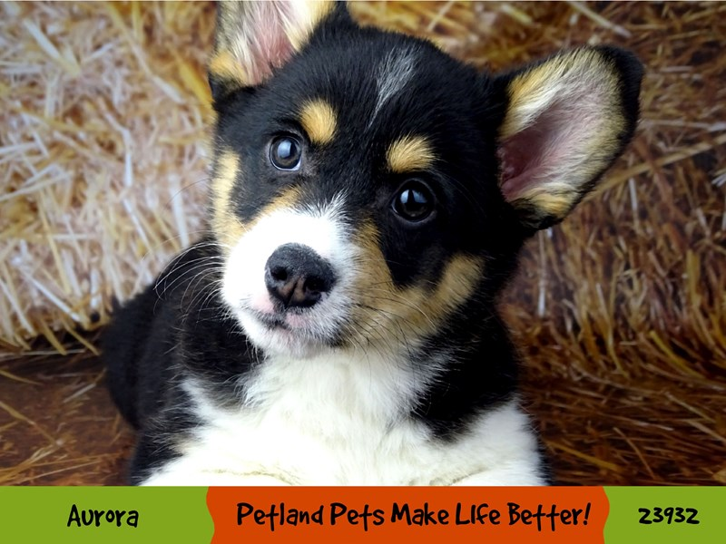 Pembroke Welsh Corgi-Male-Black / White-2919193-Petland Aurora