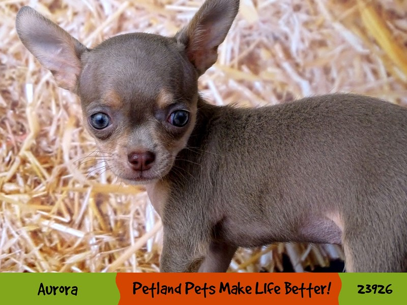 Chihuahua-Female-Blue / Tan-2914826-Petland Aurora