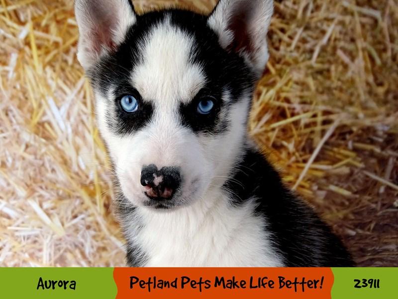 Siberian Husky-Male-Black and White-2913564-Petland Aurora