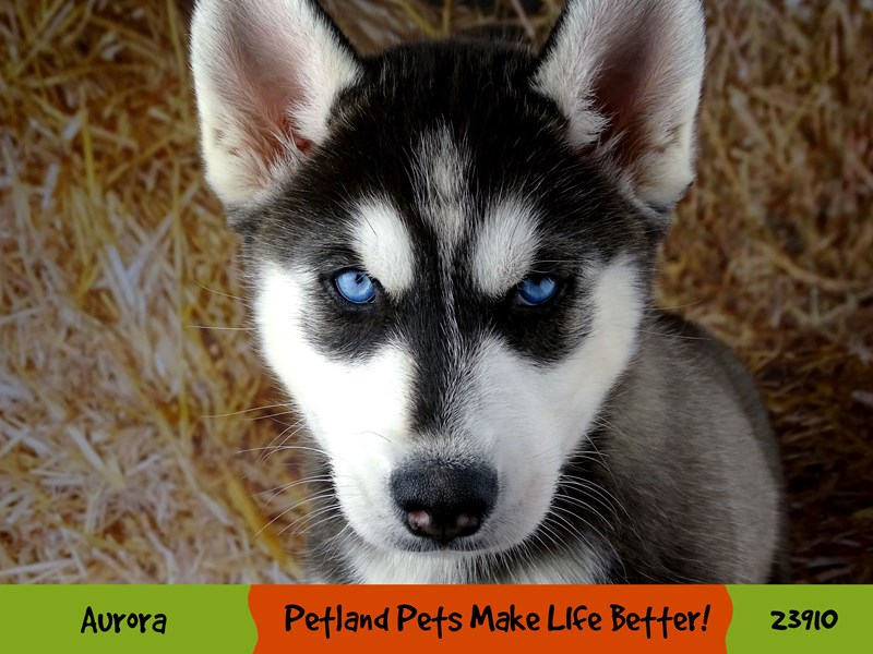 Siberian Husky-Male-Black and White-2913532-Petland Aurora