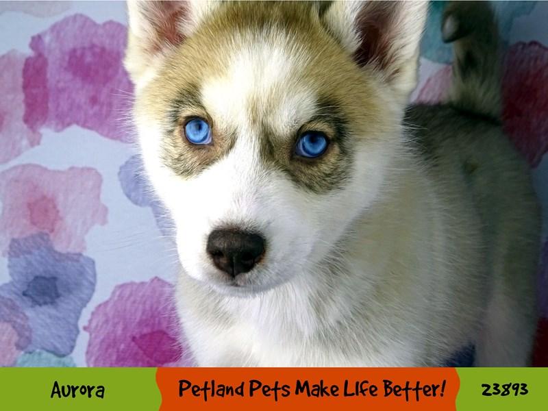 Siberian Husky-Male-Gray / White-2905739-Petland Aurora