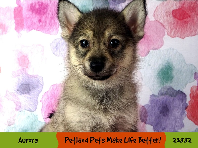 Pomsky-Female-Beaver-2898028-Petland Aurora