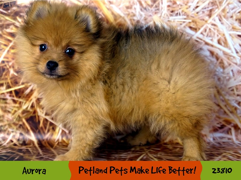 Pomeranian-Female-Brown / White-2872350-Petland Aurora