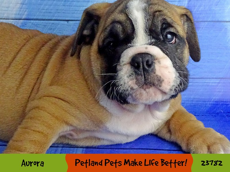 Bulldog-Female-Red-2865112-Petland Aurora