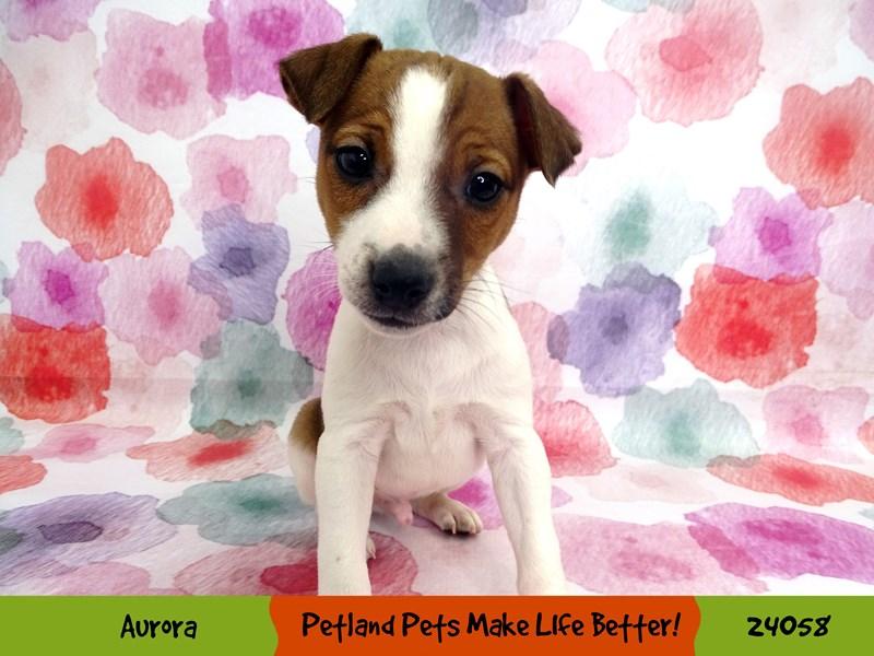 Jack Russell Terrier-Male-White / Brown-2990301-Petland Aurora