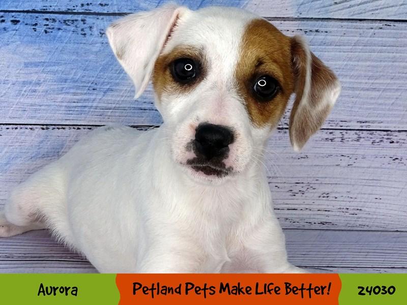 Jack Russell Terrier-Female-White-2967584-Petland Aurora
