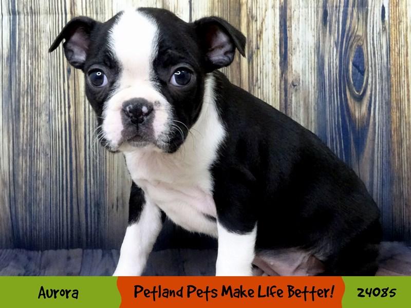 Boston Terrier-Female-Black / White-3009795-Petland Aurora