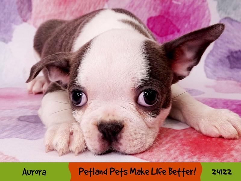 Boston Terrier-Female-Blue / White-3037029-Petland Aurora