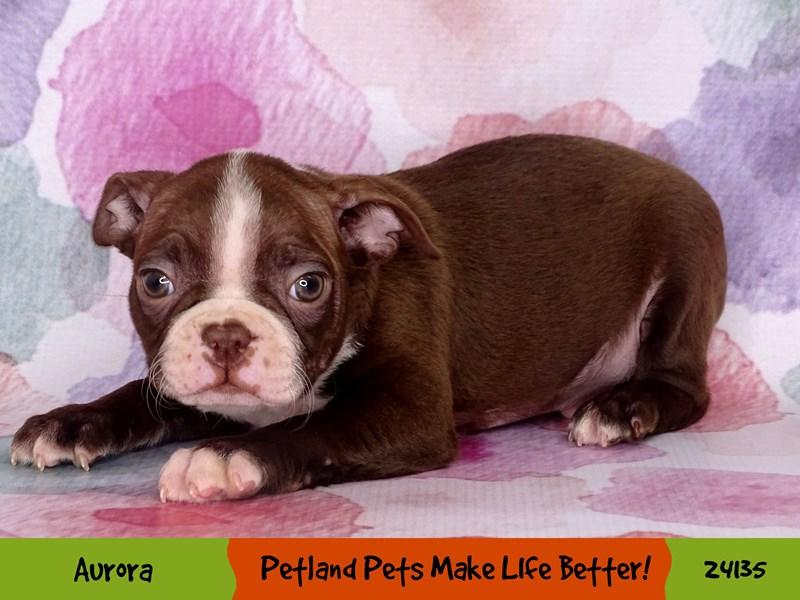 Boston Terrier-Male-Seal / White-3046536-Petland Aurora