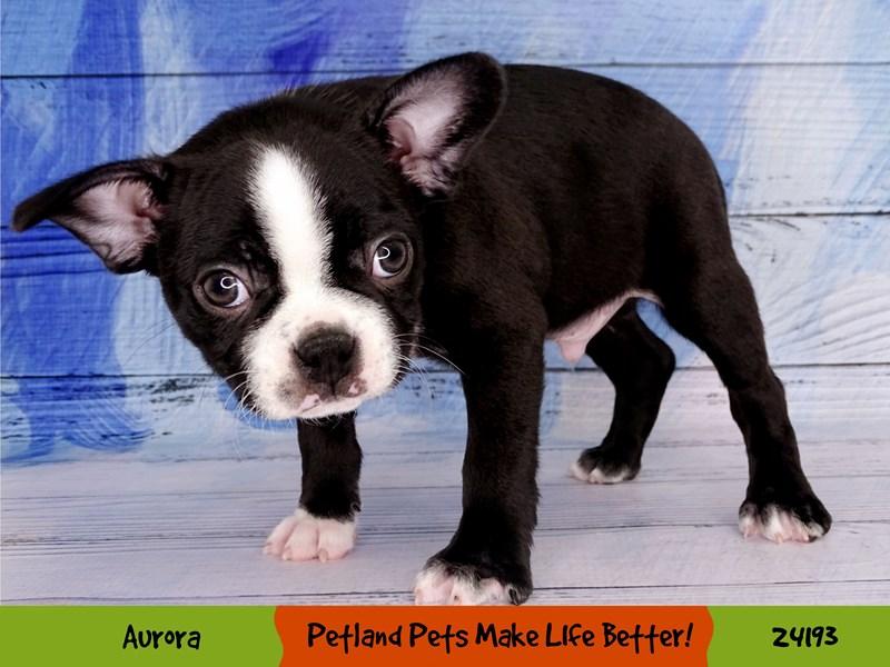 Boston Terrier-Male-Black/White-3090389-Petland Aurora
