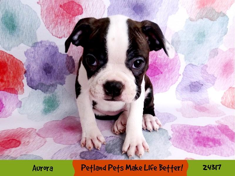 Boston Terrier-Female-Brindle / White-3191596-Petland Aurora