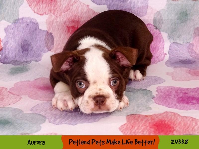 Boston Terrier-Male-Seal / White-3201020-Petland Aurora