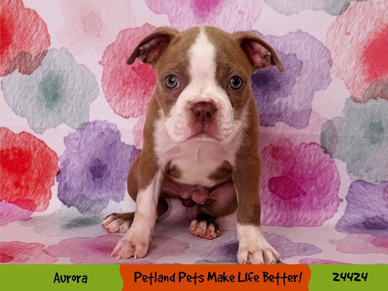 Boston Terrier-Female-Champagne-3268095-Petland Aurora