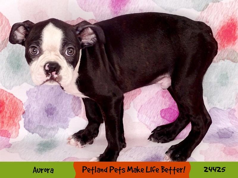 Boston Terrier-Male-Black / White-3268096-Petland Aurora